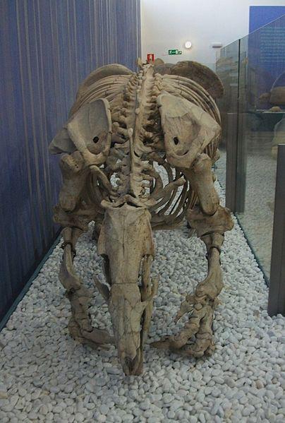 File:Scelidotherium carlesi, milodòntid, Museu de Ciències