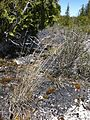 Schizachyrium scoparium Little bluestem.jpg