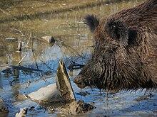 Mud wallowing wild boar.JPG