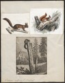 Sciurus vulgaris - 1700-1880 - Print - Iconographia Zoologica - Special Collections University of Amsterdam - UBA01 IZ20400001.tif