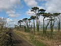 Scots Pine and Railway at Knocknagin - geograph.org.uk - 735793.jpg