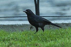 Scrub Blackbird - South Ecuador S4E7818 (23806878191).jpg