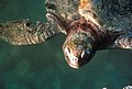 Sea Turtle, NPSPhoto (2) (9257771352).jpg