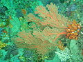 Sea fan at Rheeder's Reef P2277121.JPG
