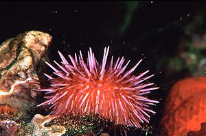 Keystone species - Sea urchins like this purple sea urchin can damage kelp forests by chewing through kelp holdfasts