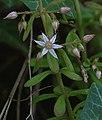 Sedum cepaea inflorescence (10).jpg