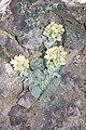 Sedum paradisum Shirtale Peak 002 (8345876635).jpg