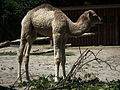 Seitenansicht Dromedar Zoo Landau Juni 2011.JPG