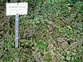 Selaginella uncinata - Berlin Botanical Garden - IMG 8722.JPG