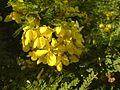 Senna polyphylla (323896057).jpg