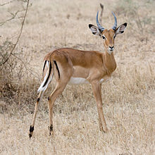 Um impala no Serengueti.