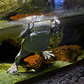 Serpentarium Blankenberge Lepidobatrachus laevis 30042015 2.jpg