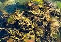 Serrated wrack, red hornweed and other algae in Govik.jpg