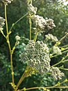 Moon carrot flowers