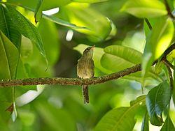 Seychellen-Rohrsaenger - Acrocephalus sechellensis.jpg