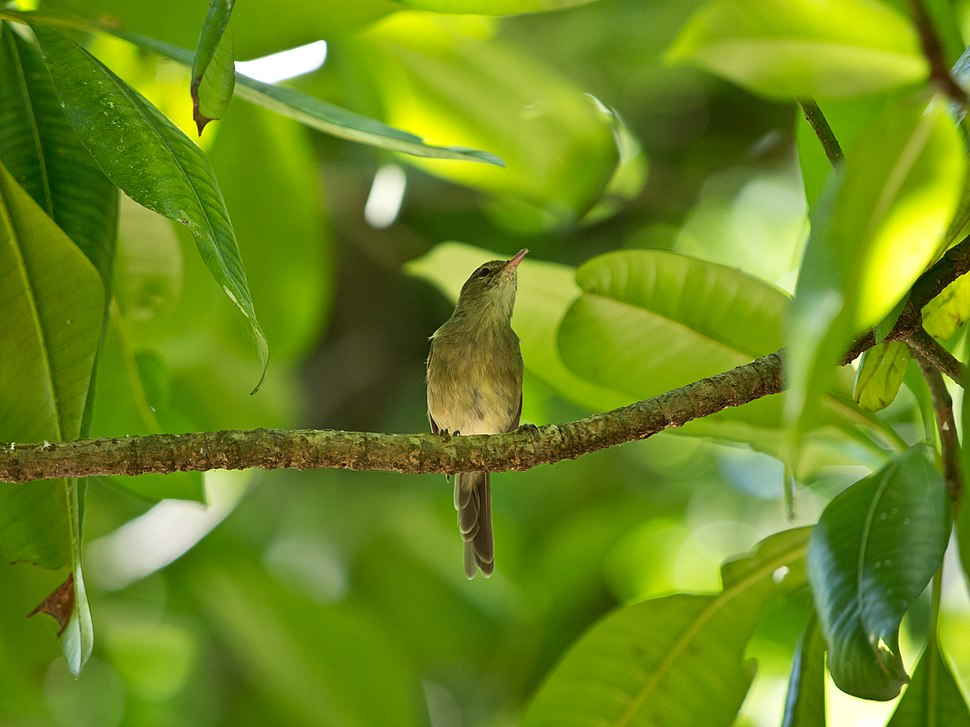 Seychellen-Rohrsaenger - Acrocephalus sechellensis