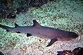 Shark - panoramio.jpg