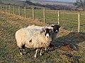 Sheep grazing near Pry Hill - geograph.org.uk - 686654.jpg
