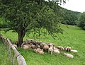 Sheep shelter beneath a hawthorn tree - geograph.org.uk - 483978.jpg
