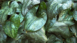 Showy Sichuan Ginger Leaves Asarum splendens 3000px.jpg