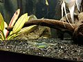 Shrimp Aquarium Pregnant 3.jpg