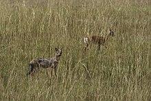 Wildlife in savannah of Africa