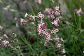 Silene gallica var quinquevulnera 070610a.JPG
