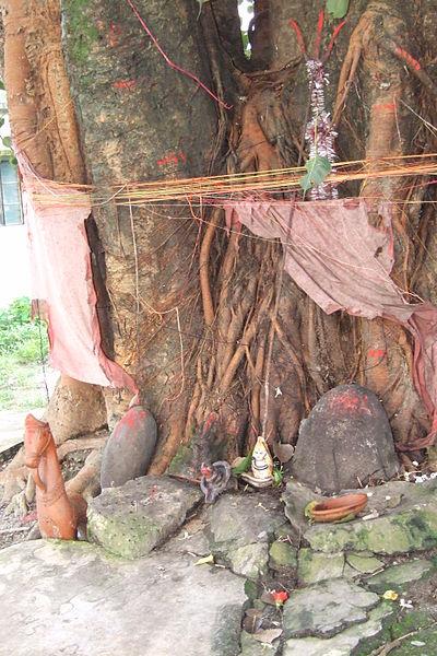 Siliguri-peepal-tree-7.JPG