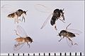 Simulium-blackfly-adults-2.jpg