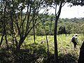 Sistema silvopastoril en cuenca alta del río Coapa, Pijijiapan, Chiapas 10.jpg