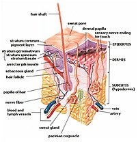 Skin layers: epidermis, dermis, and subcutis, ...