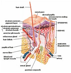 Sebaceous gland - Wikipedia, the free encyclopedia