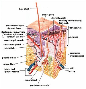 Diagram of the layers of human skin