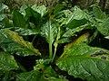 Skunk Cabbages on Kaien Island.jpg