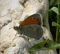 Small Heath. Coenonympha pamphilus (29683162727).jpg