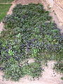 Small garden of Vegetables - Nishapur 2.JPG