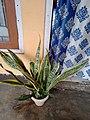 Snake plant 2.jpg