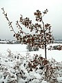 Snow Covered Oak Sapling - geograph.org.uk - 1144769.jpg