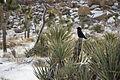 Snowfall on 12-31-14 - Raven on Mojave yucca (16278014916).jpg