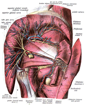 Superior gluteal veins - Vessels and nerves of gluteal region.
