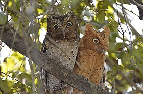 Sokoke scops owl pair in Arabuko-Sokoke Forest.jpg