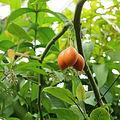 Solanum betaceum-IMG 3447.jpg