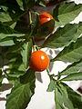 Solanum pseudocapsicum fruits 01.JPG