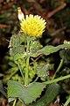 Sonchus oleraceus 5Dsr 3648.jpg