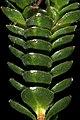 Sonderothamnus petraeus 1DS-II 2-4541.jpg