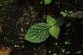 Sonerila sp 4228.jpg