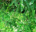 Sophora cassioides-follaje.JPG