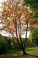Sorbus alnifolia 'Submollis' JPG1Tb.jpg