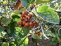 Sorbus latifolia 1c.JPG