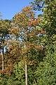 Sorbus torminalis Weinsberg 20070929 1.jpg